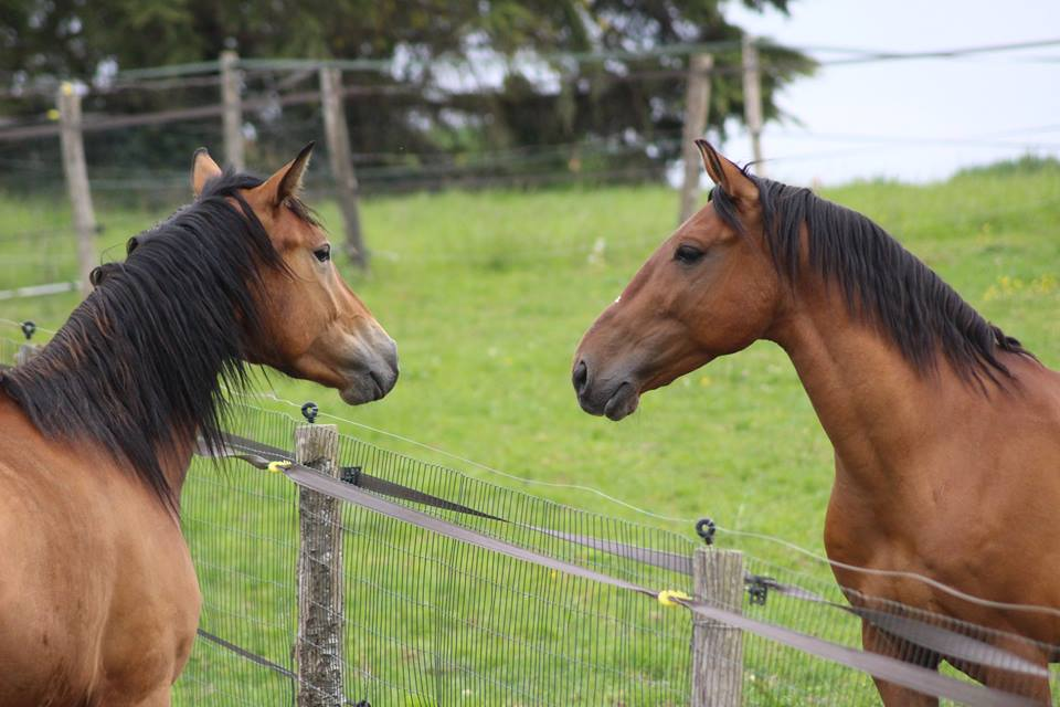 face à face entre deux chevaux au pré à Toulouse